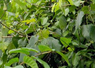 Photo: Malcoha africano (Ceuthmochares aereus)