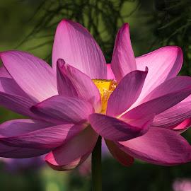 Be Like the Lotus by Cindy Hartman - Flowers Single Flower ( waterlily, lotus, aquatic, garden, flower )