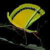Yellow Umbrella Stick Insect