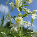 Greater butterfly-orchid