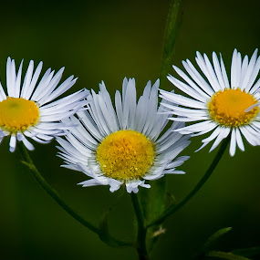 by Eduard Andrica - Flowers Flowers in the Wild (  )