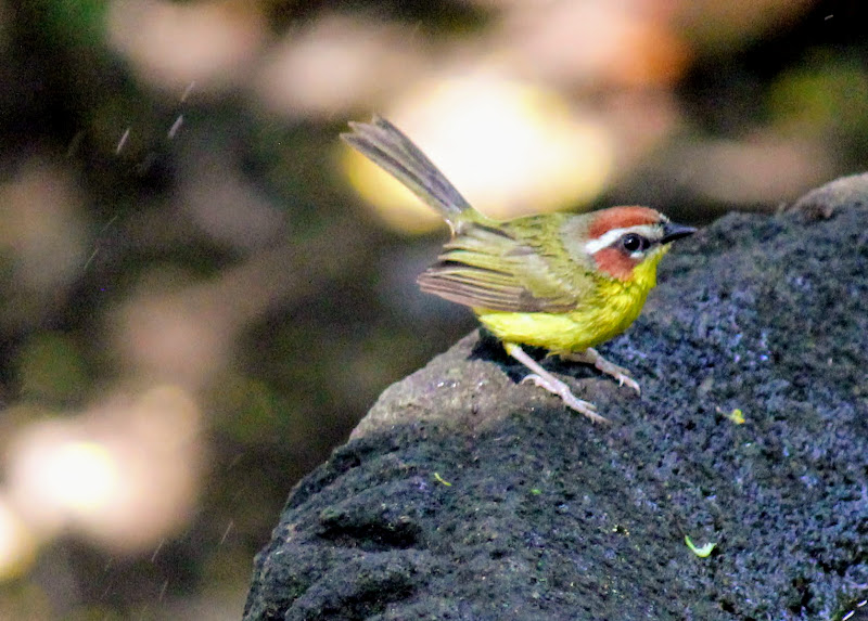 Photo: Rufous-capped Warbler