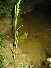 Photo: Pelophylax ridibundus