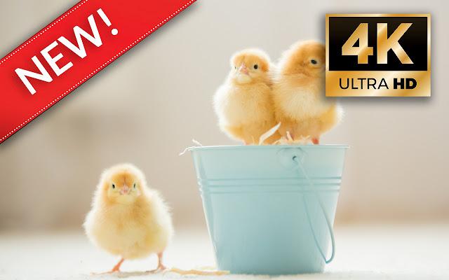 Chicks HD Wallpapers - Custom New Tab