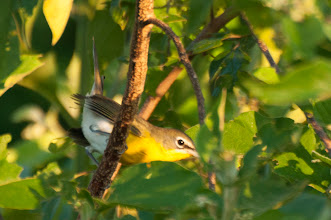 Photo: Yellow-throated Vireo (Gelbkehlvireo); Bacalar, QROO