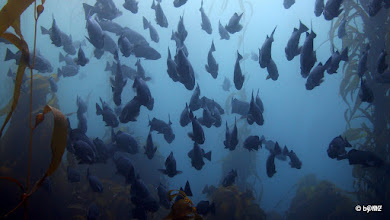 Photo: School of Blue Rockfish