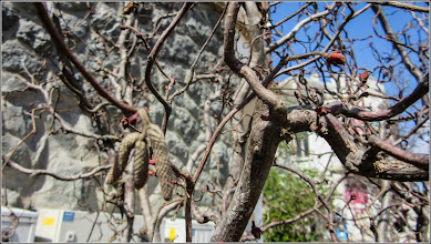 Photo: Alun ornamental (Corylus avellana 'Red Majestic') - din Piata Republicii - 2017.04.15