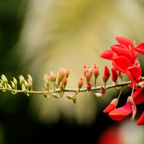 green to red by Qnoy Koemat - Nature Up Close Flowers - 2011-2013
