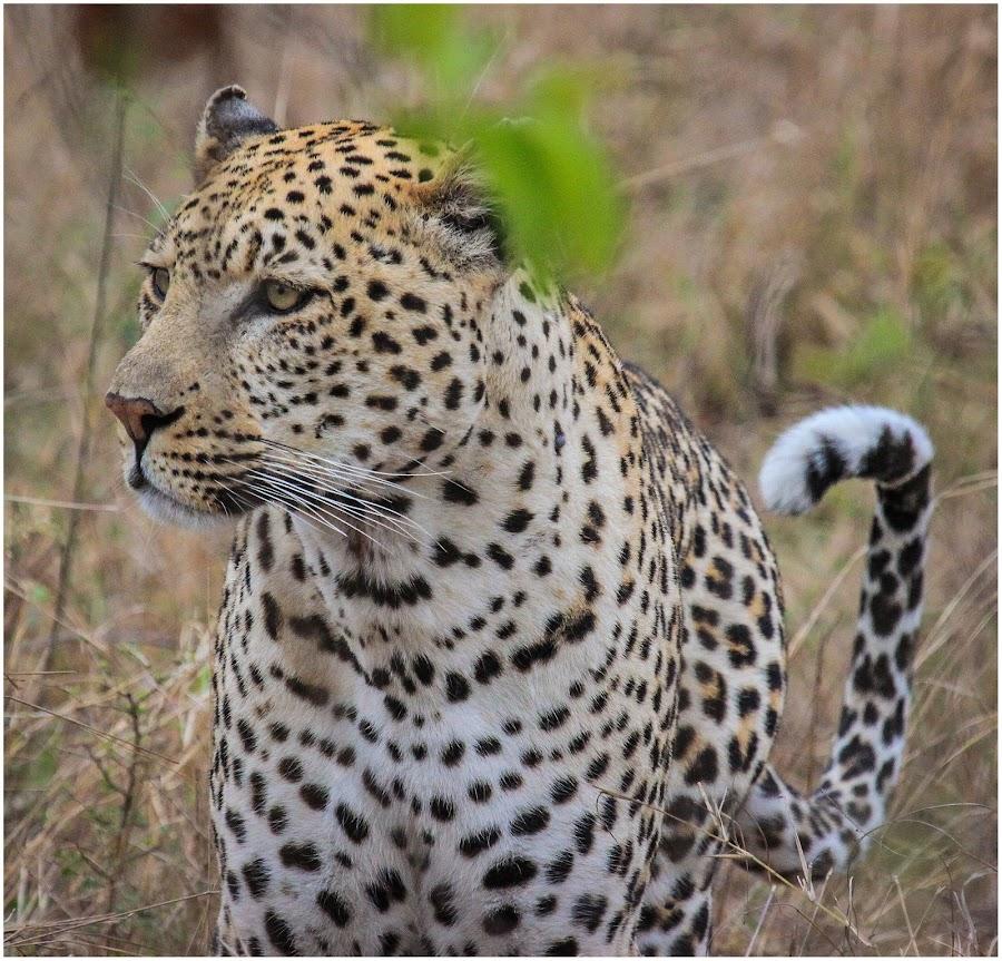 Leopard by Dirk Luus - Animals Lions, Tigers & Big Cats ( predator, nature, wildlife, leopard, animal,  )
