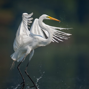 Great-Egret-Dance2-1600.jpg