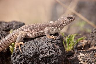 Photo: Desert Iguana near Amboy