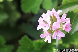 Photo: 拍攝地點: 梅峰-溫帶花卉區 拍攝植物: 天竺葵 拍攝日期: 2015_10_27_FY