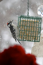 Photo: Downy woodpecker sharing the suet with his Mrs. and...