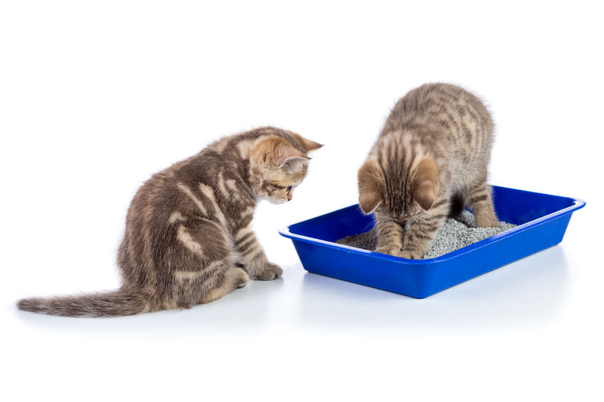 A kitten using a littler box while another watches