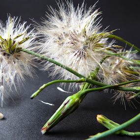 Dandelions by Theo Collett - Flowers Flowers in the Wild ( texture, natural lighting, color photography, wild flowers )