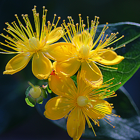 by Carmen Quesada - Flowers Flowers in the Wild ( hypericum, wild, nature, petals, green, lines, yellow, leaves, flowers )