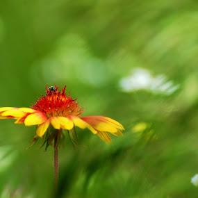 Indian Blanket by Stephanie Ostrander Bishop - Landscapes Prairies, Meadows & Fields ( wildflowers, bee, meadow, indian blanket, nikon, flowers, prairie, fields )