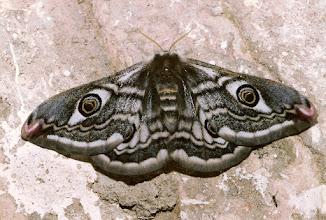 Photo: Saturnia pavonia  Lepidoptera > Saturnidae