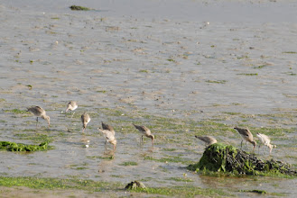 Photo: Godwits