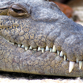 Dentista by Dejan Dajković - Animals Reptiles