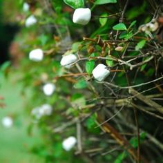 Image result for marshmallow  plant