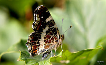 Photo: The Map (Araschnia levana) is a butterfly.