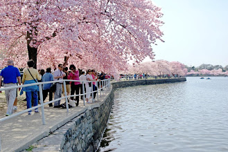Photo: The pink cherry blossoms provide a cool canopy to view the Tidal Basin