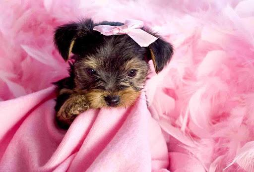 Yorkie Puppy Wallpaper