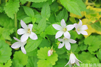 Photo: 拍攝地點: 梅峰-溫帶花卉區 拍攝植物: 風鈴草 拍攝日期: 2014_08_18_FY