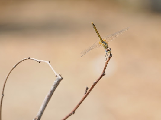 Like a dragonfly di vanity