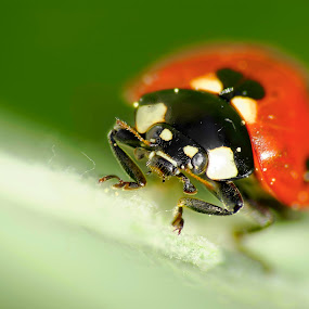 not a bird by Joseph Balson - Animals Insects & Spiders ( macro, not a bird, bug, lady bug, insect,  )
