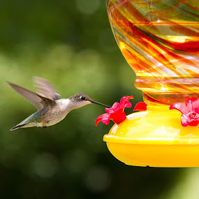 by Eddie Jeffries - Animals Birds ( nature, hummingbird, birds )