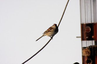 Photo: American tree sparrow
