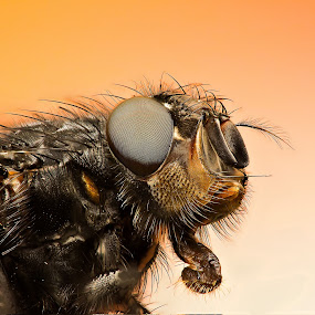 Macro Queen by AhMet özKan - Animals Insects & Spiders ( canon, macro, raynox, fly, stack )