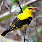 Indian golden oriole- Male