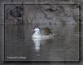 Photo: Sungrebe - Heliornis fulica - American Finfoot  NF Photo 110128 on river Sarapiqui in Costa Rica http://nfcrbird.blogspot.com/2011/02/sungrebe-heliornis-fulica-american.html
