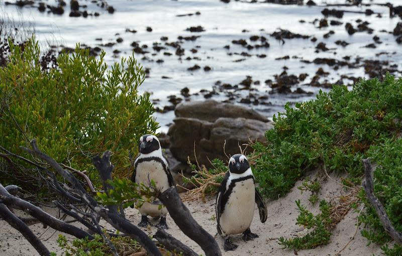 Penguins crossing CapeTown di ElisabettaPics