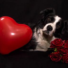 Happy Valentine by Thyra Schoonderwoerd - Animals - Dogs Portraits ( studio, heart, border collie, february, flowers, dog, valentine )