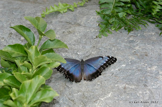 Photo: The Blue Morpho is one of the more popular of the butterflies that are raised in the botanical gardens.  These exotics are not allowed to escape into the wild.
