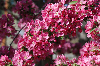 Photo: Pink crabapple blossoms in May  05/08