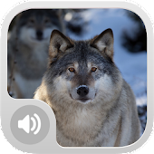 Wolf Sounds!