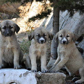 Brothers by Ahmet AYDIN - Animals - Dogs Puppies ( dogs, dog, pwc84, brothers )