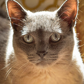 Lucy by Brent Dreyer - Animals - Cats Portraits ( cat, siamese cat, portrait )