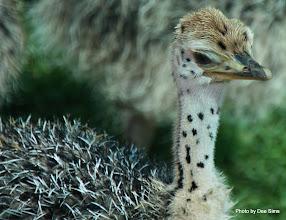 Photo: (Year 3) Day 23 - Baby Ostrich #5