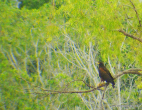 "Photo: Harris's Hawk; ""Birders Highway"", south of San Blas"
