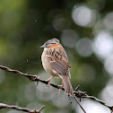 Copetón común - Rufous-collared Sparrow