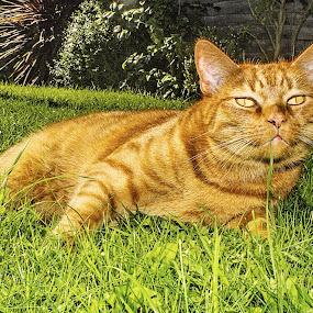 Dexter by Paul Jenking - Animals - Cats Portraits