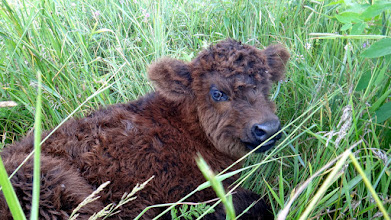 Photo: Wee calf bedded down...