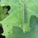 Common Castor Caterpillar