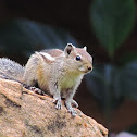 Indian Palm Squirrel ( three-striped)